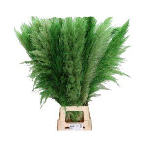 Κορταντέρια (Πάμπας) πράσινη